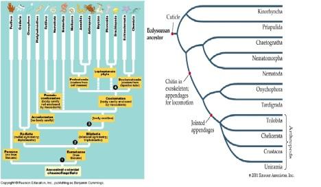 Coelom vs Ecdsozoa Phylogeny