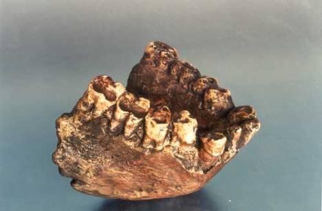 h1301-Gigantopithecus-Jaw