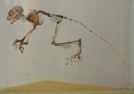 Tarsier_Skeleton
