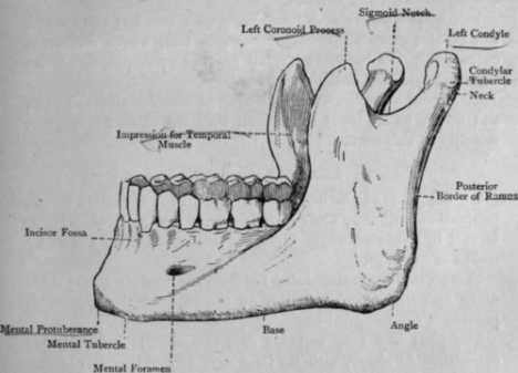 Fig-44-The-Inferior-Maxilla-Mandible