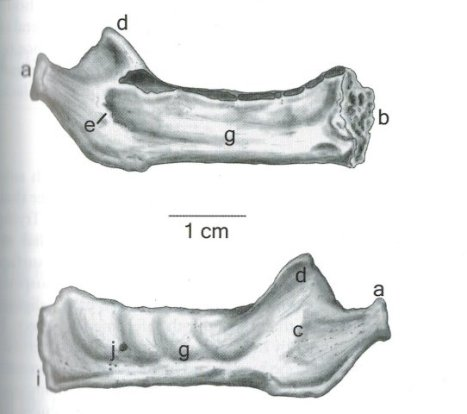 Neonate Mandible