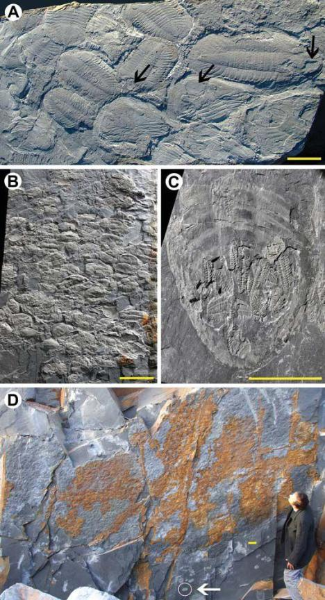 Nonlinear autochthonous trilobite clusters. A: Slab with at least 17 complete specimens of Ogyginus forteyi, some showing hypostome in place (arrows) and others enrolled. B: Molt assemblage with >100 specimens of Ectillaenus giganteus. C: Cluster of more than 18 articulated exuviae of Placoparia cambriensis under the carapace of giant Ogyginus forteyi. D: Quarry wall surface with discrete patch of >1000 partially articulated exuviae of Ectillaenus giganteus; single complete specimen is circled (arrow). Scale bars = 10 cm.