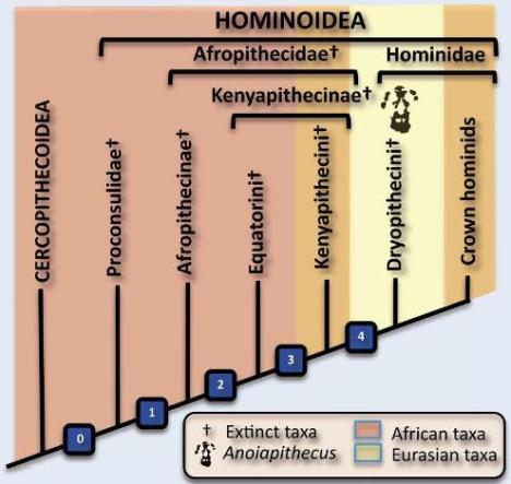 Simplified cladogram depicting the phylogenetic hypothesis and biogeographic scenario favored in this paper. The Afropithecinae include the Afropithecini; the Equatorini include Equatorius and Nacholapithecus; the Kenyapithecini include Kenyapithecus and Griphopithecus; and the Dryopithecini include Pierolapithecus, Dryopithecus s.s., and Anoiapithecus. Nodes: 0, taillessness and other postcranial and cranial features; 1, thick enamel, dental morphology, robust mandible, procumbent premaxilla; 2, anterior position of the zygomatic root, strong mandibular inferior torus; 3, reduction of maxillary sinus, very deep canine fossa, reduced mandibular length; 4, high face, high zygomatic root, wide nasal aperture (widest at the base), flat nasals that project anteriorly beneath the level of the inferior orbital rim, orthograde-related features (as judged from Pierolapithecus). This hypothesis implies a back-to-Africa dispersal of the Homininae and a reversal of some features of node 3 in this group, but assumes that features of node 4 are homologous between pongines and hominines.