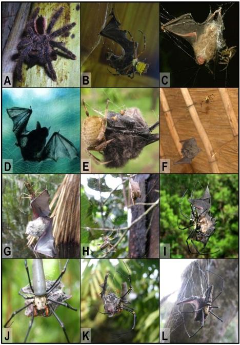 Spiders Eat Bats