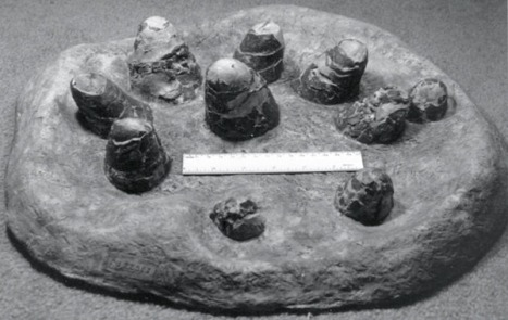 Troodon formosus eggs